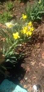 Front yard daffodils